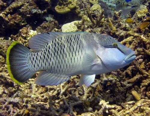 tập tính sinh sản Đặc điểm nhận biết cá Sú Mì