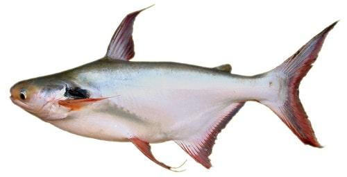 cá vồ đém