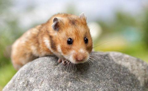 Giống chuột Hamster Rex