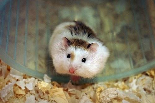 Chuột Hamster Robo bò sữa