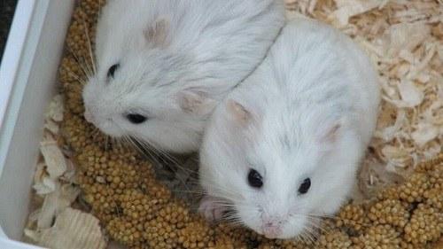 Chuột Hamster Robo Platium