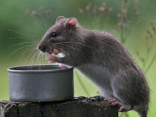 Chuột đen