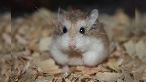 Chuột hamster bear có nguy hiểm không