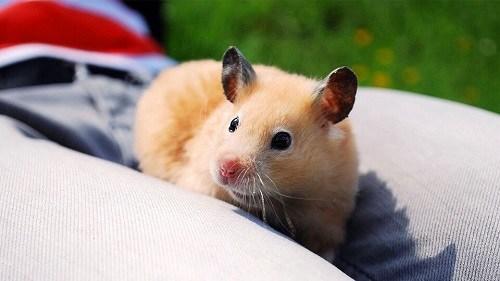 Chuột hamster bear giá bao nhiêu tiền
