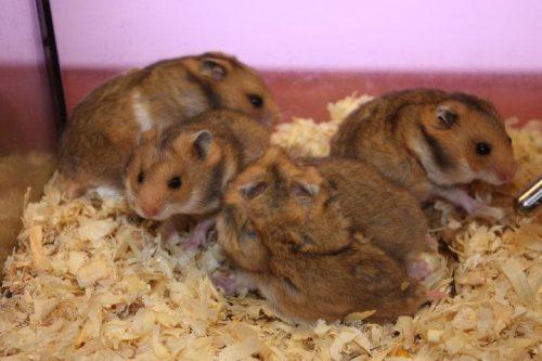 Tập tính sinh sản của chuột hamster bear