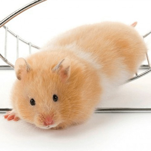 Tuổi thọ trung bình của chuột hamster bear