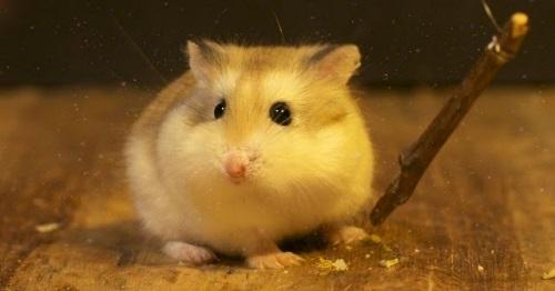 Nguồn gốc chuột Hamster Robo