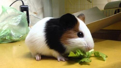 Chuột lang