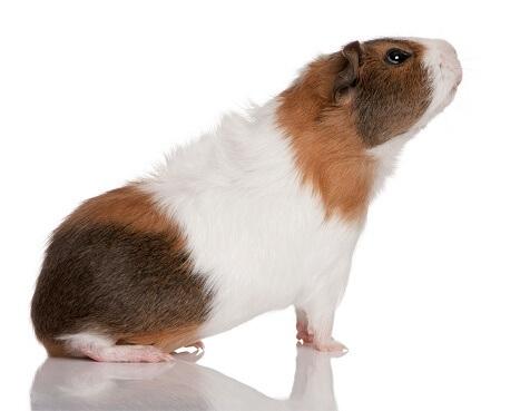 chuột lang teddy