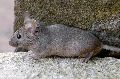 Chuột nâu