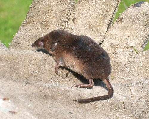Chuột Shrew