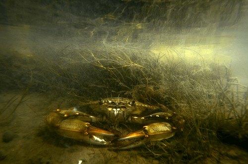 Cua biển có độc không?