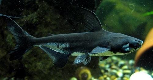 đặc điểm cá vồ