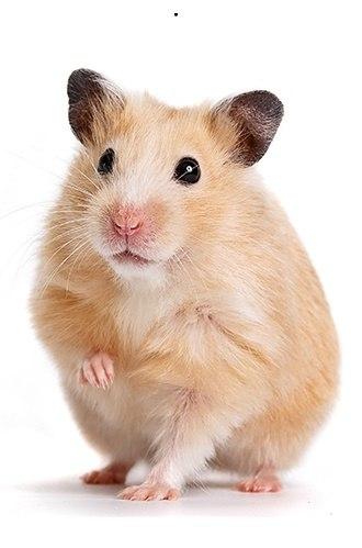 Đặc điểm hình dáng chuột hamster bear