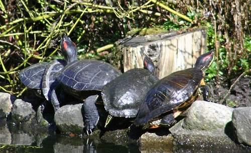 hướng dẫn cách nuôi rùa tai đỏ