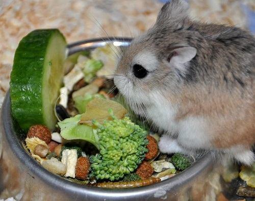 Lưu ý khi nuôi chuột hamster robo