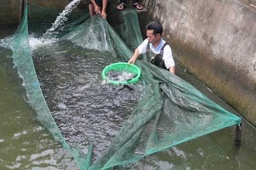 nuôi cá rô trong bể xi măng