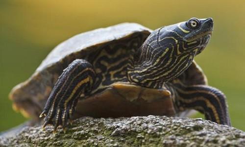 mua rùa bản đồ ở đâu
