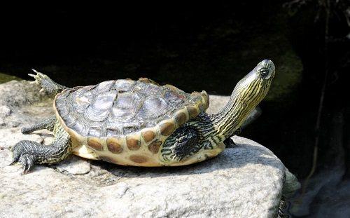 Rùa cổ sọc có nguy hiểm không?
