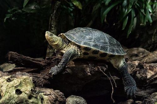 Rùa cổ sọc lột da