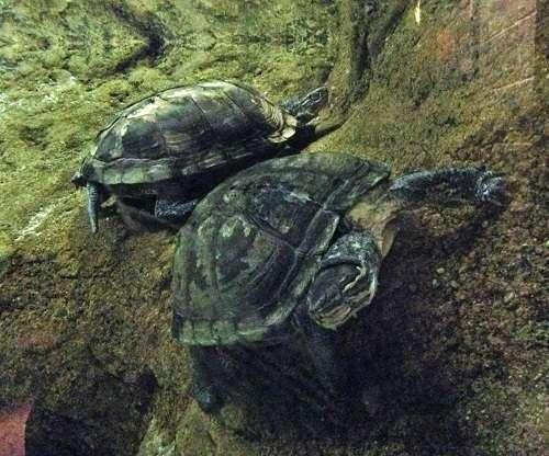 Đặc điểm hình dáng của rùa cổ sọc