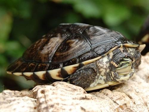 Tập tính sinh sản của Rùa cổ sọc