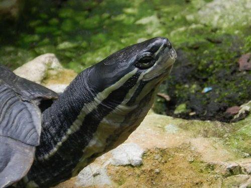 rùa cổ sọc sống ở đâu