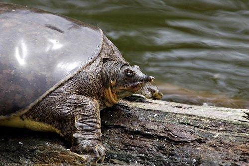 Rùa mũi heo
