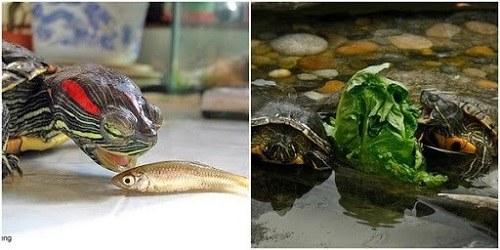 nuôi rùa tai đỏ có độc không