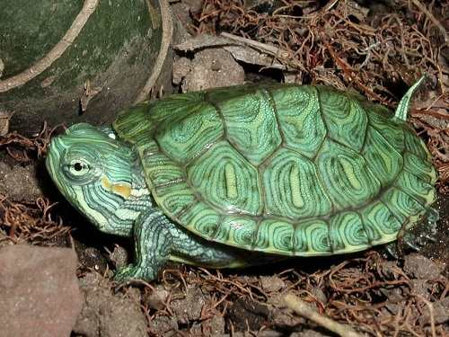 Rùa tai đỏ sống ở đâu