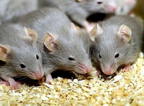 Khả năng sinh sản của loài chuột