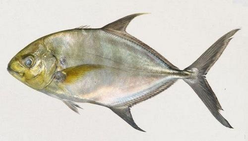Nguồn gốc của cá khế