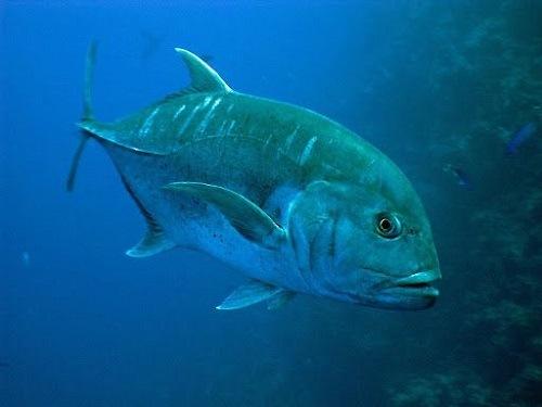 Tập tính sinh sản của cá khế