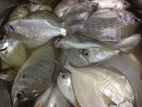 Cá Móm giá bao nhiêu tiền 1 con