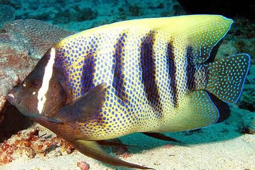 Cá nanh heo bao nhiêu tiền 1 con