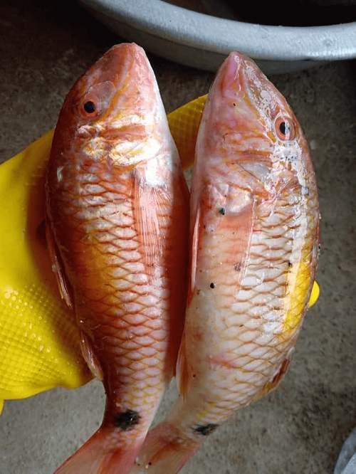 Đặc điểm của cá Phèn râu