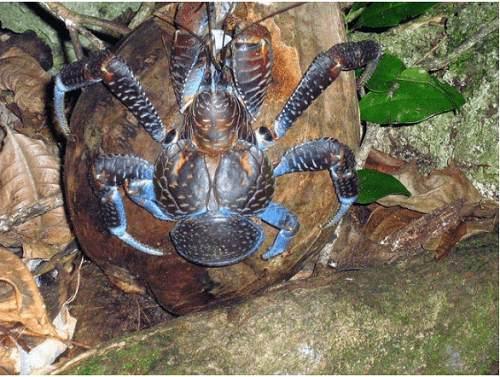 Cua Dừa khổng lồ sống ở đâu