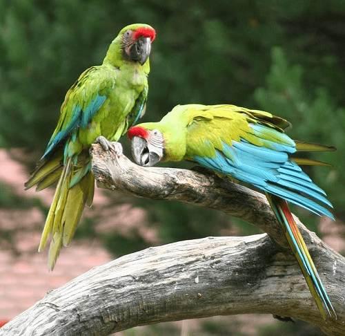 Tập tính sinh sản của Vẹt Nam Mỹ