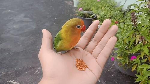 Vẹt Lovebird ăn gì?