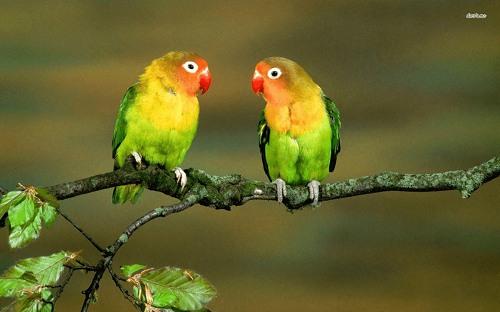 7. Vẹt Lovebird giá bao nhiêu