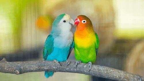4. Tập tính sinh sản của Vẹt Lovebird