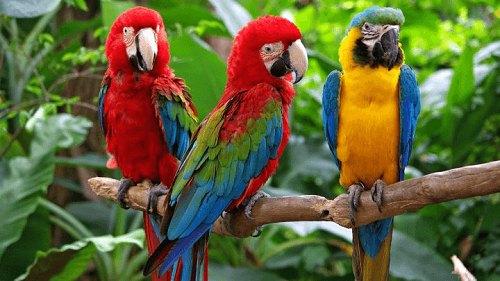 Vẹt Nam Mỹ