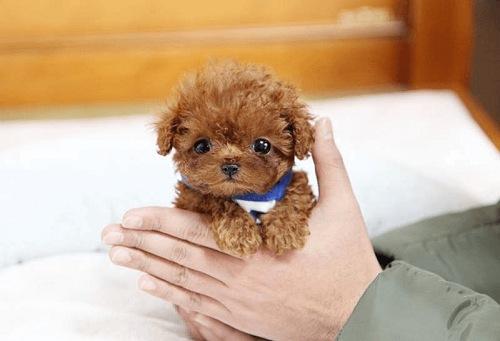 cách nuôi chó poodle toy