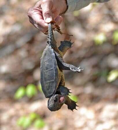 Đặc tính của rùa Common Snapping
