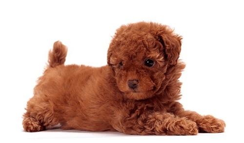 Chó Toy Poodle ăn gì