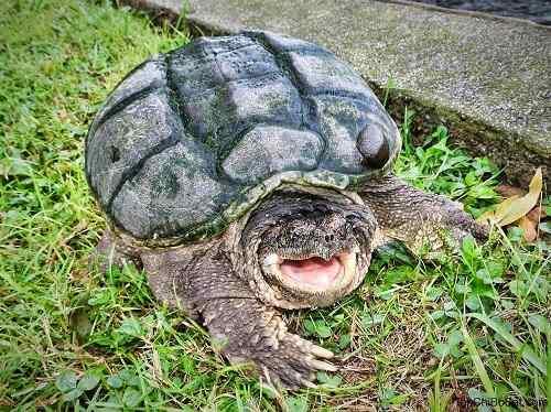 nuôi rùa common snapping