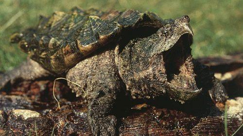 common rùa