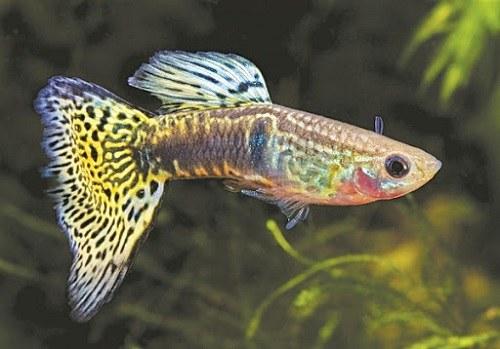 Cá bảy màu