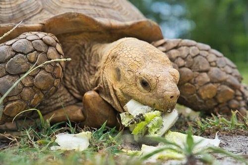 Rùa Sulcata baby ăn gì