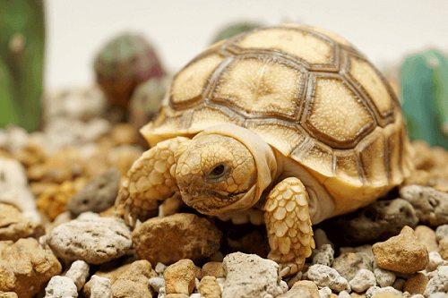 Rùa Sulcata rẻ nhất bao nhiêu